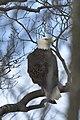 Bald Eagle - Flickr - debandsid.jpg