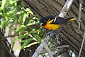 Baltimore Oriole bathing and other monkeyshines (33733660584).jpg