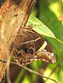 Bamboo Treebrown Lethe europa by Dr. Raju Kasambe DSCN0887 (1).jpg