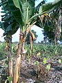 Banana Farm Chinawal 15.jpg