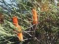 Banksia ericifolia (42630124802).jpg