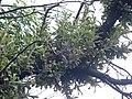 Banksia serrata P5270219.jpg