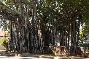 Tree girth measurement - Banyan tree Cleveland