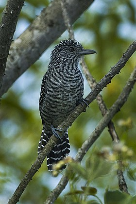 Bar-crested Antshrike - Colombia S4E9188 (16203168903).jpg
