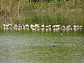 Bar-headed geese, Sukhna lake, Chandigarh 01.jpg