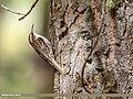 Bar-tailed Tree-creeper (Certhia himalayana) (44855191155).jpg