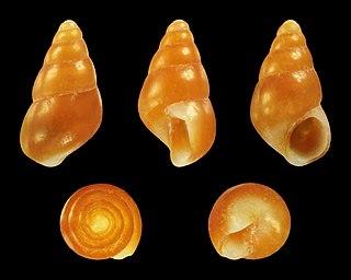 <i>Barleeia</i> genus of molluscs