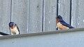 Barn Swallows (Hirundo rustica) - Norfolk County, Ontario 2019-06-09 (01).jpg