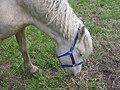 Bashkir Curly horse.jpg