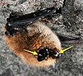 Bat White-nose Syndrome (7608408696).jpg