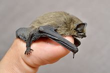 Bats are smaller than one generally thinks... (5933690662).jpg