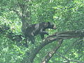 Bear captured on camera at Cades Cove July 2012 IMG 5005.JPG
