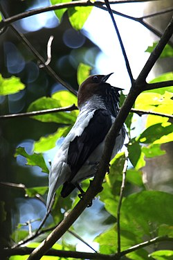 Bearded Bellbird (17170040850).jpg