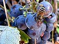 Bee and grape cluster.jpg