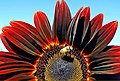 Bee on Red Sunflower 9-13 (14944535859).jpg