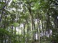 Beechforest062005.jpg