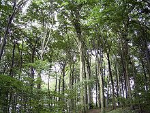 https://upload.wikimedia.org/wikipedia/commons/thumb/d/d7/Beechforest062005.jpg/220px-Beechforest062005.jpg