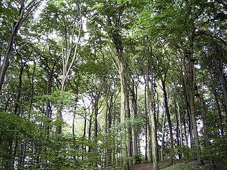 https://upload.wikimedia.org/wikipedia/commons/thumb/d/d7/Beechforest062005.jpg/330px-Beechforest062005.jpg