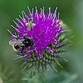 Bees (36126614176).jpg