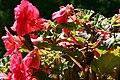 Begonia IMG 7717.JPG