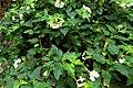 Begonia cubensis.JPG