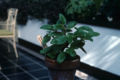 Begonia ulmifolia2WPC.jpg