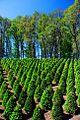 Bellevue-Hopewell Road Tree Farm (Yamhill County, Oregon scenic images) (yamDA0036).jpg