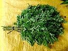 Ben-oil tree leaves (marketed) 1.jpg