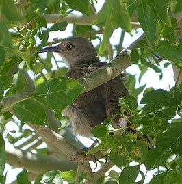 Bendire's Thrasher. Toxostoma bendirei - Flickr - gailhampshire.jpg