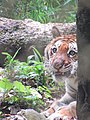 Bengal Tiger Zoo.jpg