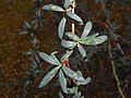 Berberis stenophylla 2017-07-21 3450.jpg