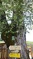 """Bergahorn mit """"fremdem"""" Baum in seiner Mitte.jpg"""