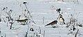 Berglärka-Eremophila alpestris.jpg