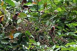 Betet biasa (Psittacula alexandri).jpg