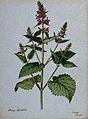 Betony (Stachys officinalis); flowering stem. Watercolour, 1 Wellcome V0043254.jpg