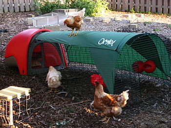 Three hens being let out of their Eglu.