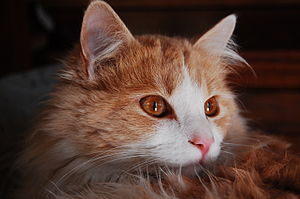 A cream and white domestic cat (Felis sylvestris catus)