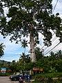 Big tree on phangan - panoramio.jpg