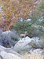 Bighorn Sheep in Tahquitz Canyon, Palm Springs, CA.jpg