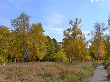 Birch grove in Barnaul.JPG