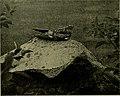 Bird lore (1908) (14564437537).jpg