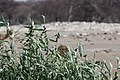 Bird of Namibia 05.jpg
