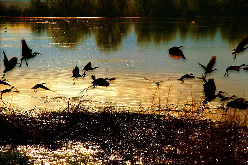 File:Birds flying over a pon in sunset.jpg
