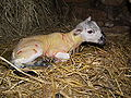 Birth of a lamb 2.jpg