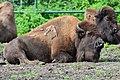 Bison bison - Serengeti-Park Hodenhagen 02.jpg