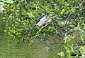 Black-crowned night heron - Nycticorax nycticorax (8504789016).jpg
