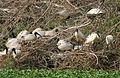 Black-headed Ibis (Threskiornis melanocephalus) nesting at Garapadu, AP W IMG 5208.jpg
