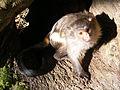 Black-tailed marmoset.JPG