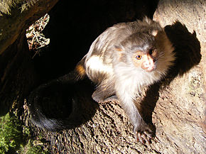 Description de l'image Black-tailed marmoset.JPG.