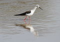 Black-winged Stilt, Common Stilt, or Pied Stilt, Himantopus himantopus at Mapungubwe National Park, Limpopo, South Africa (18201245075).jpg
